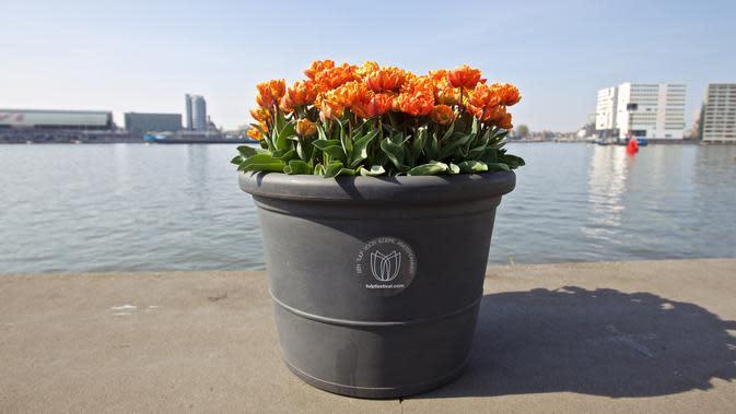 Sebuah pot bunga tulip terlihat di Amsterdam, Belanda (8/4/2020). Festival Tulip Amsterdam 2020 menampilkan tulip di jalan-jalan sepanjang bulan April. Akibat epidemi COVID-19, beberapa lokasi pameran tulip ditutup tahun ini. (Xinhua/Sylvia Lederer)