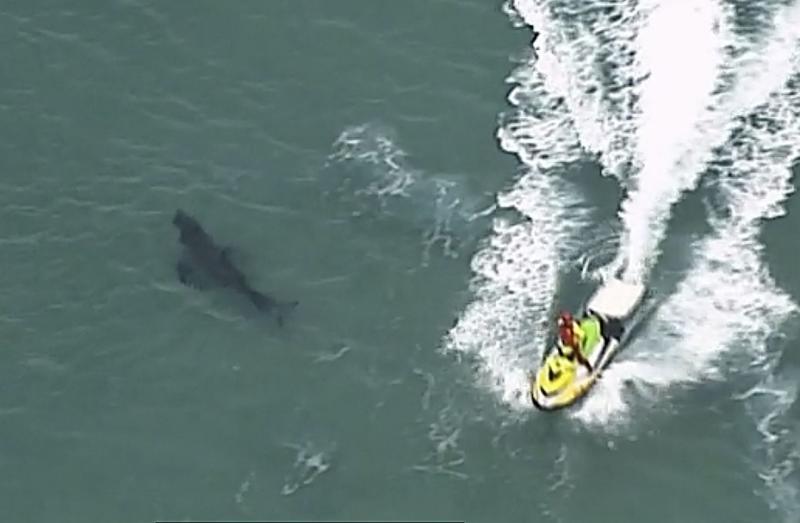Hiu putih sepanjang 10 kaki bunuh peselancar Australia