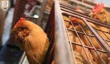 韓德及波蘭部分地區爆禽流感 禽產品暫停進口本港