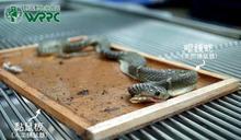眼鏡蛇黏到蟑螂屋眼神死 跟「小強」整組帶去急救