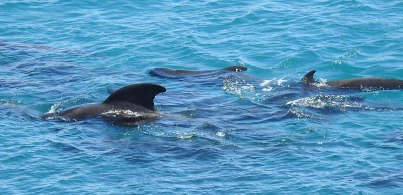 matriarch dolphin comforts the other dolphins before their mass slaughter by Japanese fishermen