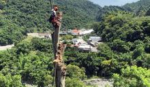 35米天際樹染病鋸7天移除 施工人員:感謝曾守護這塊土地