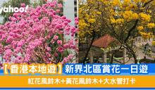 【香港好去處】新界北區賞花一日遊 紅花風鈴木+黃花風鈴木+大水管打卡