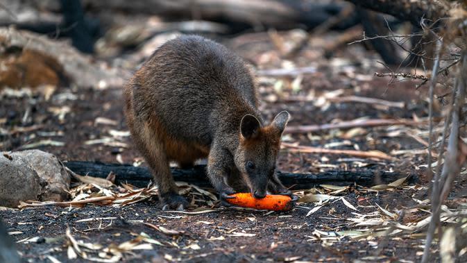 Walabi memakan wortel yang dijatuhkan oleh petugas margasatwa NSW di atas daerah yang terkena dampak kebakaran hutan di sepanjang Pantai Selatan New South Wales pada 11 Januari 2020. Penyebaran dilakukan lewat udara dengan sejumlah helikopter. (STR/NSW NATIONAL PARKS AND WILDLIFE SERVICES/AFP)