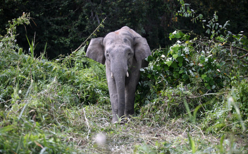 A Borneo pygmy elephant looks for food along the Kinabatangan river in Sabah February 19, 2009. — Reuters pic