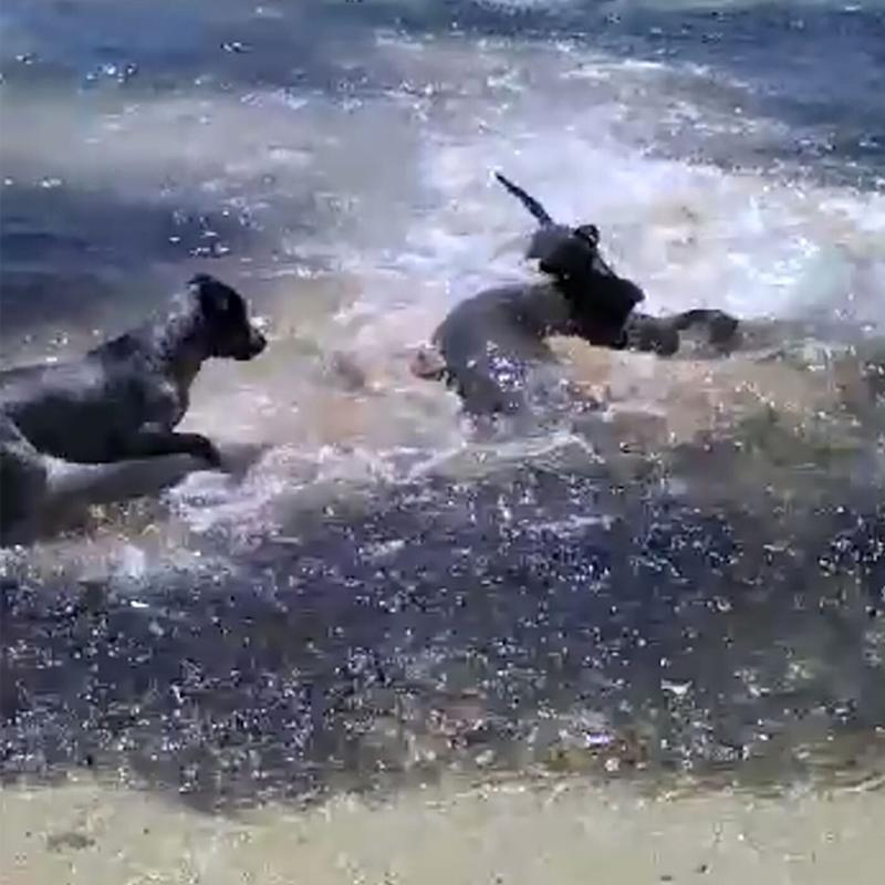 A man on a remote island in Queensland has captured the moment a group of dogs bounded into the sea before thrashing around with a school of sharks.