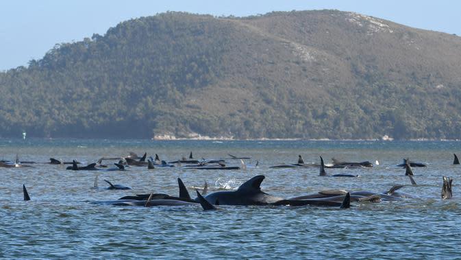 Kawanan paus pilot yang terdampar di perairan Pelabuhan Macquarie, Tasmania, Australia (21/09/2020). Ahli biologi kelautan merencanakan penyelamatan sekitar 270 paus pilot yang terjebak di gundukan pasir di lepas pantai barat terpencil Tasmania tersebut. (AFP/Pool)