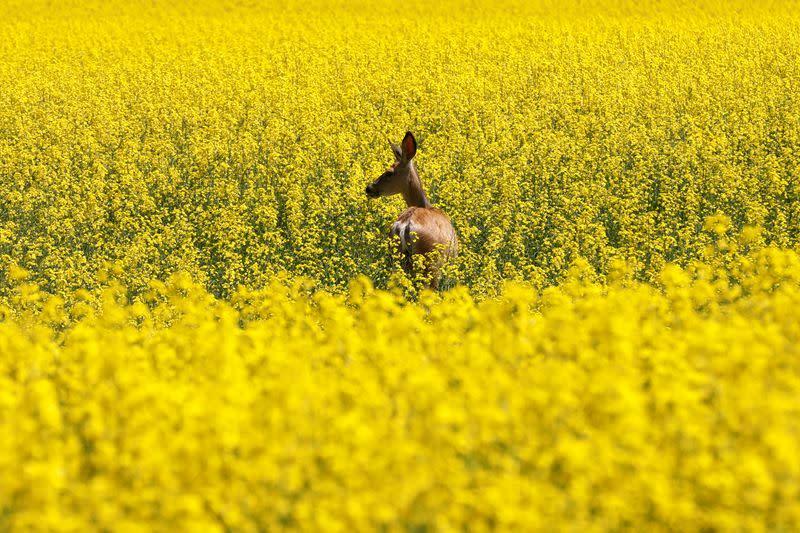 Canada, China talking to keep canola seed exports moving