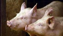 外食、小吃、學校團膳...怎避開瘦肉精美豬? 專家教4招自保