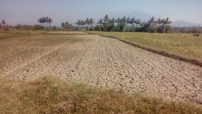 Ratusan hektar lahan pertanian di kawasan Wanaraja, wilayah Garut Utara mulai mengalami kekeringan akibat musim kemarau berkepanjangan (Liputan6.com/Jayadi Supriadin)