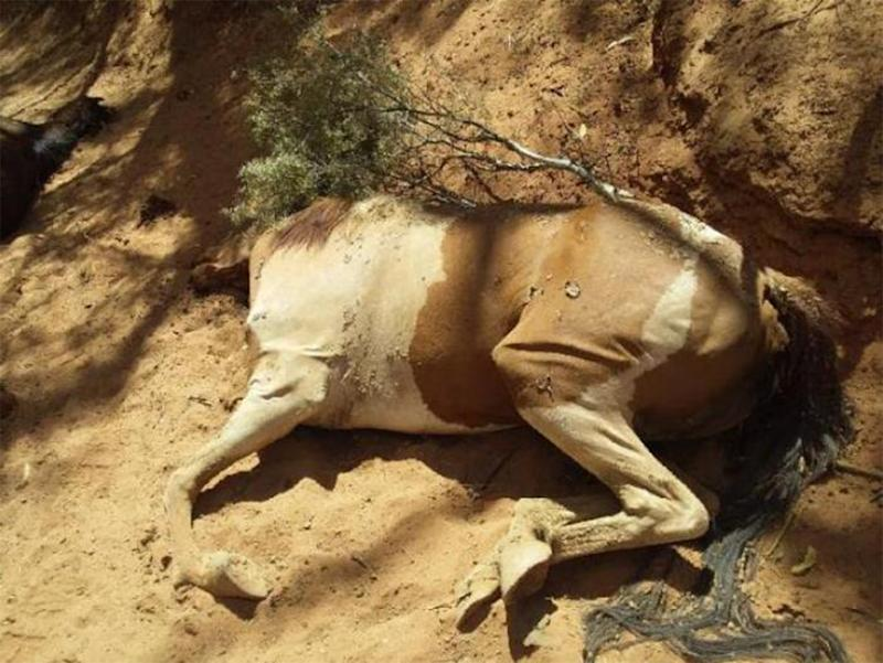 Brumbies dead in the Northern Territory: The horse carcasses were found near Santa Teresa, about 80 kilometres south east of Alice Springs.