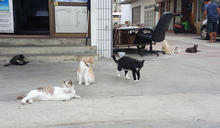 推動虎井貓島觀光計畫 澎湖縣府助貓咪結紮 (圖)