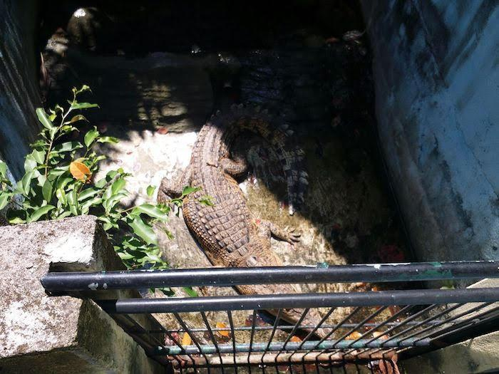 A crocodile inside a small concrete enclosure at the Melka Excelsior Hotel, Bali.
