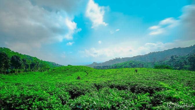Perkebunan Teh Gunung Gambir, Jember, Jawa Timur. (ekaafandi/Instagram)
