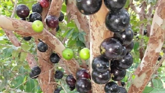 7 Manfaat Luar Biasa dari Anggur Brazil, Anti Kanker Hingga Diare
