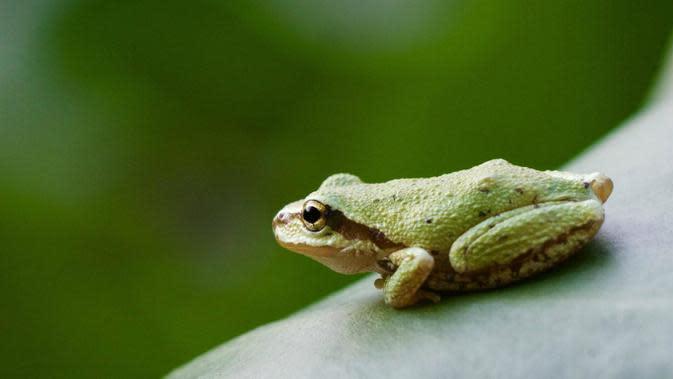 Pacific Tree Frog (webdev01v.burke.washington.edu/Heidi Rockney)
