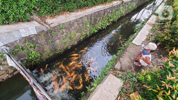 Seorang anak melihat ikan yang dibudidaya di sepanjang saluran air di Puri Pamulang, Tangerang Selatan, Minggu (13/8/2020). Jenis ikan mas yang dibudidaya warga memberikan manfaat ekonomis di masa pandemi Covid19. (Liputan6.com/Fery Pradolo)
