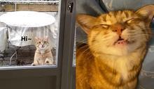 橘貓天天上門拜訪新鄰居 牠當自家遊走還爽躺床鋪過夜!