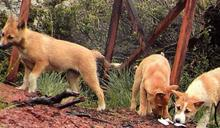 絕跡50年 遠征隊印尼發現野生唱犬