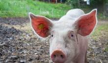 台灣驚現「首例」人類感染豬流感! 中部5歲女童檢出H1N2v病毒株