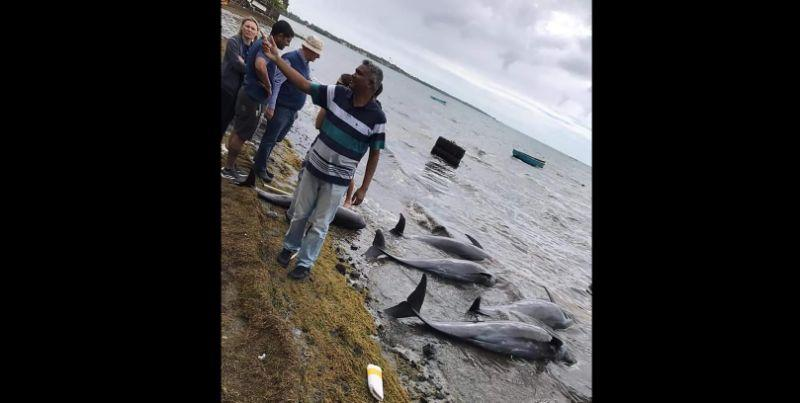 39 lumba-lumba, 3 paus terdampar di Mauritius setelah tumpahan minyak