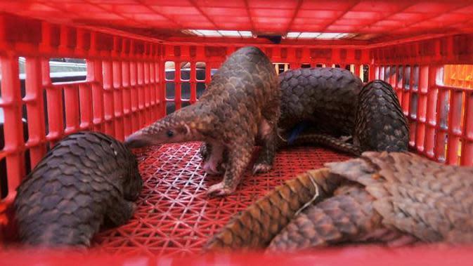 Sejumlah hewan trenggiling saat diamankan pihak berwenang di Belawan, Sumatra Utara (13/6). Tim gabungan Lantamal I dengan Mabes TNI AL berhasil mengamankan ratusan trenggiling senilai USD 190.000 sekitar Rp 2,5 miliar. (AFP Photo/Gatha Ginting)