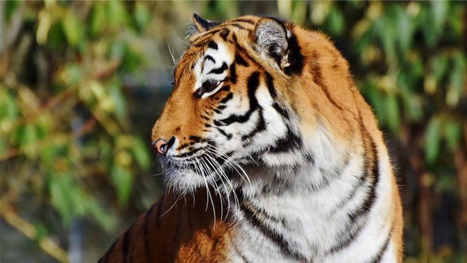 Ilustrasi harimau (Photo on Pixabay)