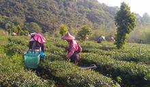 品茗頭家/一杯好茶靠真功夫 茶農用堅持種出好味道