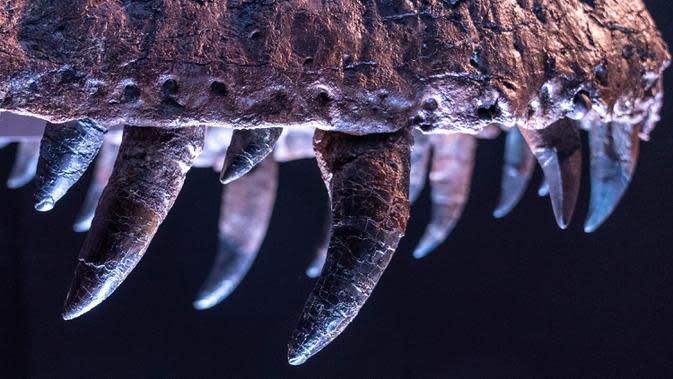 Detail gigi Stan, satu fosil T-Rex terbesar yang ditemukan, dipajang di rumah lelang Christie di New York, 15 September 2020. Dinosaurus ini diperkirakan berusia sekitar 67 juta tahun, ditemukan pada tahun 1987 di South Dakota oleh ahli paleontologi amatir Stan Sacrison. (AP Photo/Mary Altaffer)