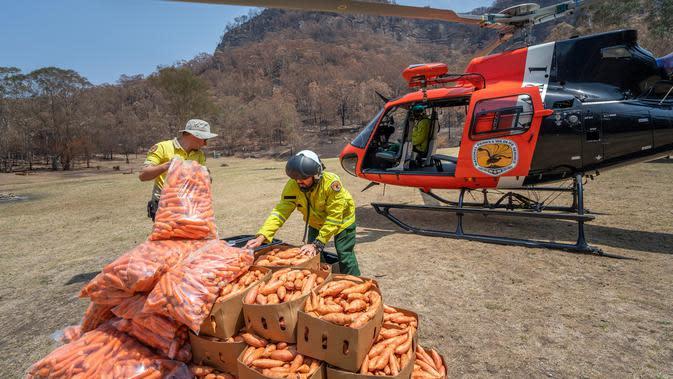 Petugas margasatwa NSW memuat wortel dan ubi jalar untuk walabi korban kebakaran hutan di sepanjang Pantai Selatan New South Wales pada 10 Januari 2020. Cara ini dilakukan karena walabi akan kesulitan mencari makan di saat habitatnya rusak. (STR/NSW NATIONAL PARKS AND WILDLIFE SERVICES/AFP)