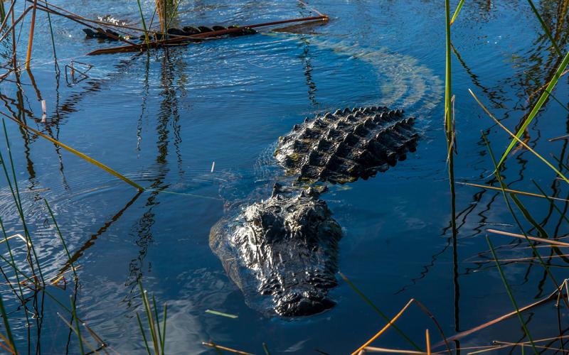 Alligator kills South Carolina woman Cassandra Kline trying to save her dog