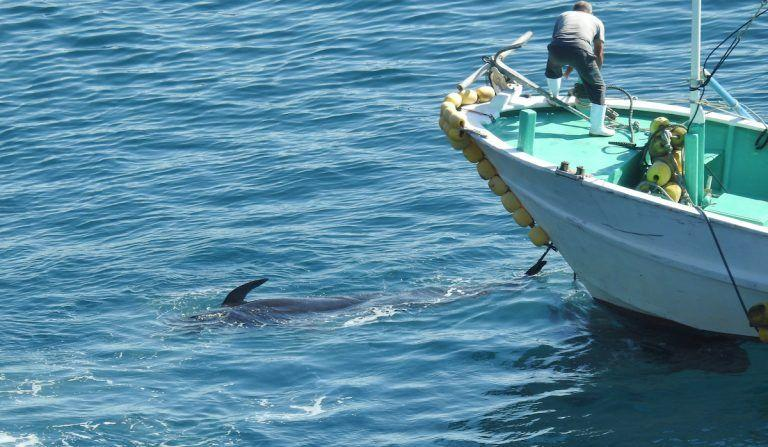 A Japanese fisherman slaughters a pilot whale during the mass slaughter of a dolphin pod