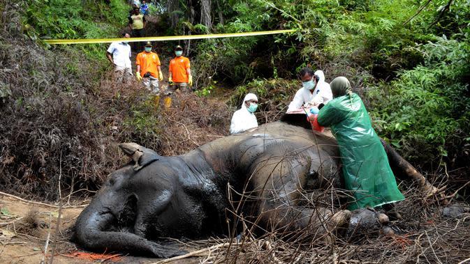 Forum Gajah Sebut Pembunuh Gajah di Riau dan Aceh Masih Satu Kelompok