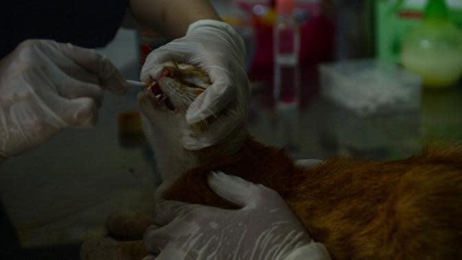 Dokter hewan mengecek kesehatan seekor kucing sebagai bagian dari layanan kesehatan hewan peliharaan di tengah pandemi COVID-19 di klinik hewan di Desa Jombang, Tangerang Selatan, Banten, Rabu (5/8/2020). (Xinhua/Agung Kuncahya B.)