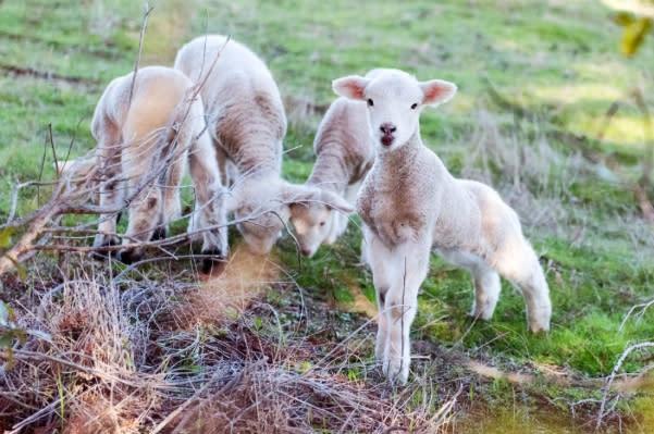 綿羊成為Fetzer Vineyards永續計畫的有力夥伴,幫忙除雜草,排泄物還能成為肥料!(圖片來源:Fetzer Vineyardszs官方粉絲團)