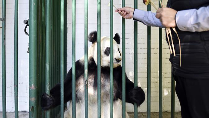 Dokter hewan Rafael Tinajero memberikan buah apel ke Xin Xin, panda raksasa wanita (Ailuropoda melanoleuca) pemeriksaan fisik di kebun binatang Chapultepec, Mexico City (12/2/2020). (AFP/Alfredo Estrella)