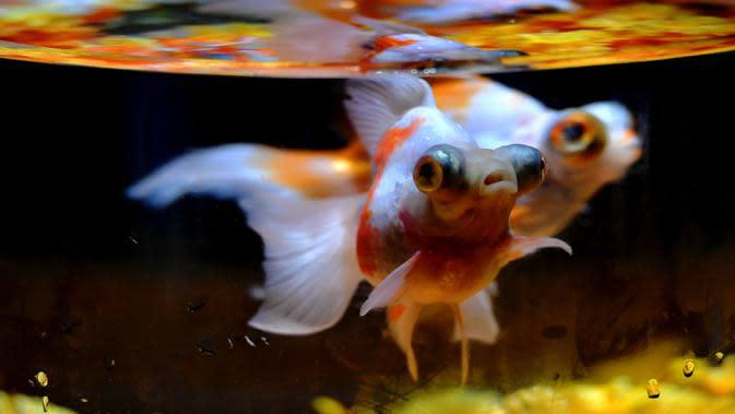 Ikan mas hias yang dipamerkan di sebuah museum di Sanfangqixiang (Tiga Jalur dan Tujuh Lorong), Kota Fuzhou, Provinsi Fujian, China, 23 September 2020. Lebih dari 3.000 ikan mas hias dari sekitar 100 spesies dipamerkan di museum tersebut. (Xinhua/Wei Peiquan)