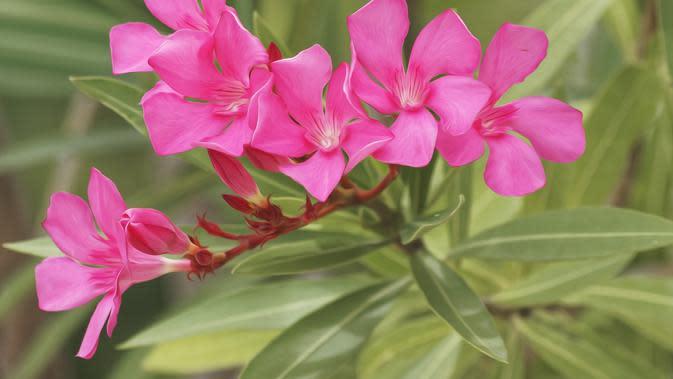 ekstrak tumbuhan Oleandrinc diklaim Trump bisa menjadi obat COVID-19