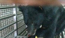 台中獲救台灣黑熊食慾好 蘋果雞蛋蜂蜜都愛