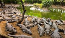印度鱷魚樂園因疫情瀕臨破產 網上眾籌求有心人救鱷魚