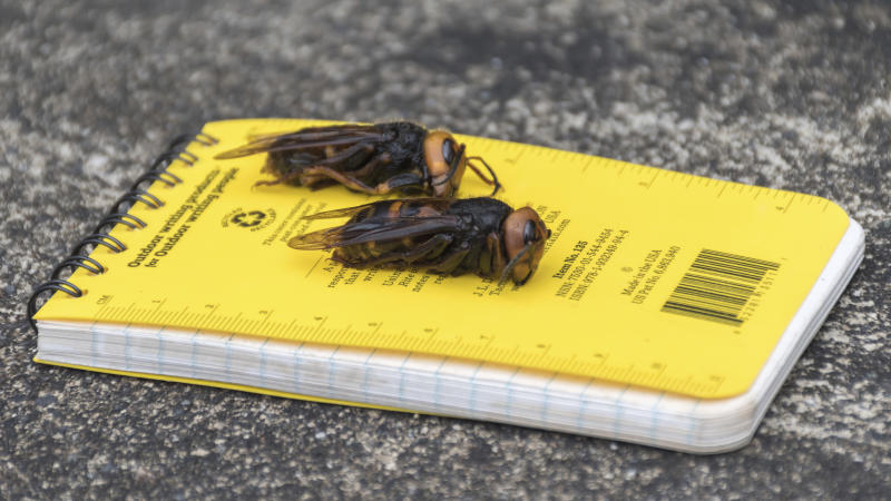 "In this April 23, 2020, photo provided by the Washington State Department of Agriculture, dead Asian giant hornets sit on a researcher's field notebook in Blaine, Wash. The world's largest hornet, a 2-inch long killer with an appetite for honey bees, has been found in Washington state and entomologists are making plans to wipe it out. Dubbed the ""Murder Hornet"" by some, the Asian giant hornet has a sting that could be fatal to some humans. It is just now starting to emerge from hibernation. (Karla Salp/Washington State Department of Agriculture via AP)"