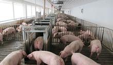 中國非洲豬瘟病毒出現變異 早期診斷難度大增