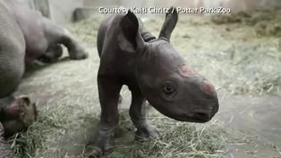Endangered rhino gives birth in Michigan zoo