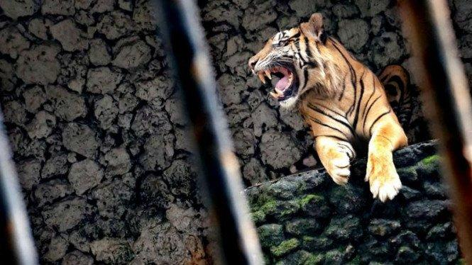 Harimau Positif COVID-19, Diduga Tertular Pawang