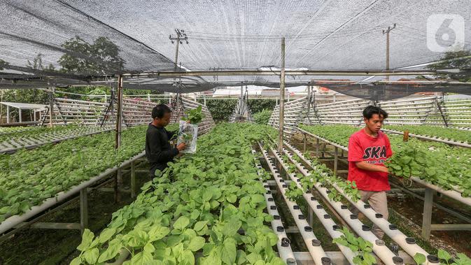 Karyawan memanen sayur hidroponik jenis bayam yang ditanam di dalam pipa PVC di Serua Farm, Bojongsari, Depok, Jawa Barat, Jumat (26/6/2020). Kebun sayur di atas lahan seluas 1.200 meter persegi dengan 25.000 lubang tanam menyediakan sayuran hidroponik bebas pestisida. (Liputan6.com/Fery Pradolo)