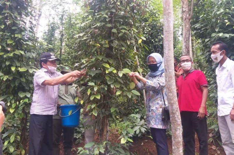 Pemkab Banjarnegara dorong budi daya tanaman lada