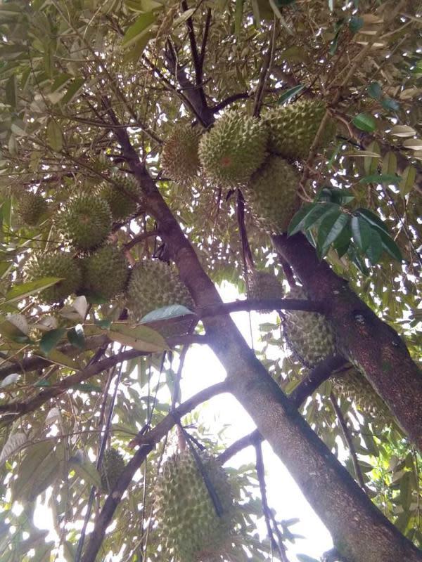 Pohon durian bawor berusia muda sudah mulai berbuah. (Foto: Liputan6.com/Dinkominfo PBG/Muhamad Ridlo)