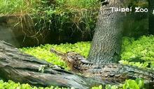 動物園鱷魚「整天不動」遭遊客丟異物測生命跡象