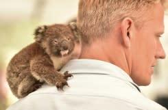 Rumah sakit sementara koala berjuang selamatkan puluhan