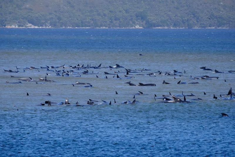 Around 270 whales stranded on sandbar off Australia's Tasmania